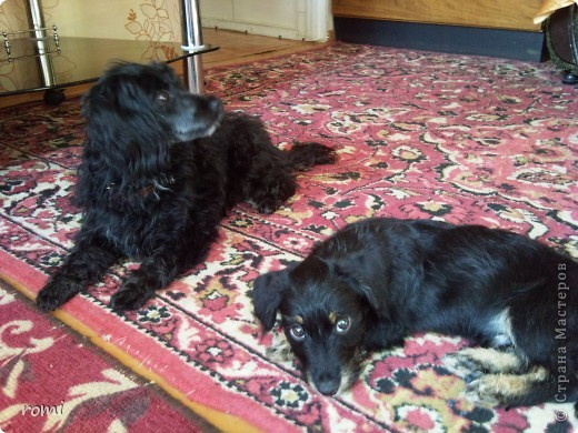 Вот таким малепусеньким щеночком Роми( полное имя Андромеда) попала в наш дом. фото 16