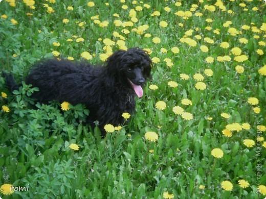 Вот таким малепусеньким щеночком Роми( полное имя Андромеда) попала в наш дом. фото 8