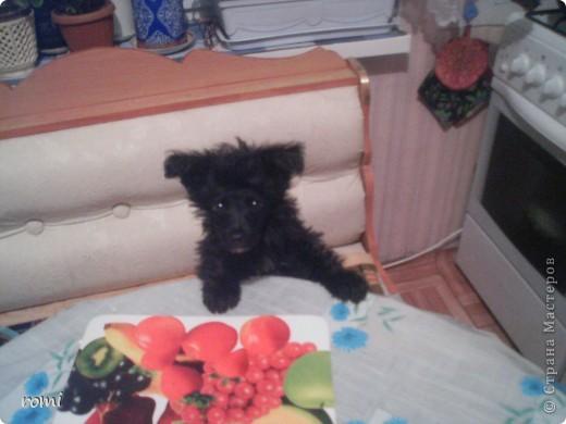 Вот таким малепусеньким щеночком Роми( полное имя Андромеда) попала в наш дом. фото 3