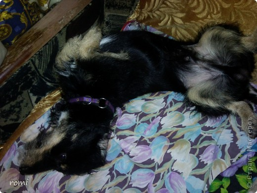 Вот таким малепусеньким щеночком Роми( полное имя Андромеда) попала в наш дом. фото 18