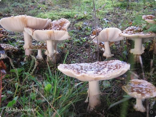 Осень- самое красивое и щедрое время года. Посмотрите, сколько всего можно увидеть в наших уральских лесах. Это - рыжики. Коренные жители Пермского края - коми-пермяки считают их царскими грибами. фото 5