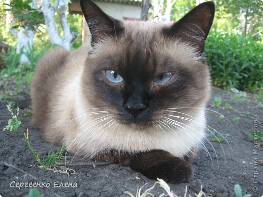 Дорогие жители Страны Мастеров! Это я. Уже знакомый вам котейка - Мурзавейка. Предлагаю вам посмотреть мой (уже пятый) фоторепортаж. На этот раз хочу рассказать как я провёл это лето на даче. фото 31