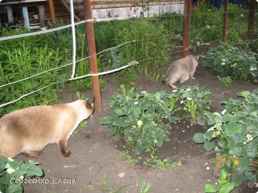 Дорогие жители Страны Мастеров! Это я. Уже знакомый вам котейка - Мурзавейка. Предлагаю вам посмотреть мой (уже пятый) фоторепортаж. На этот раз хочу рассказать как я провёл это лето на даче. фото 14