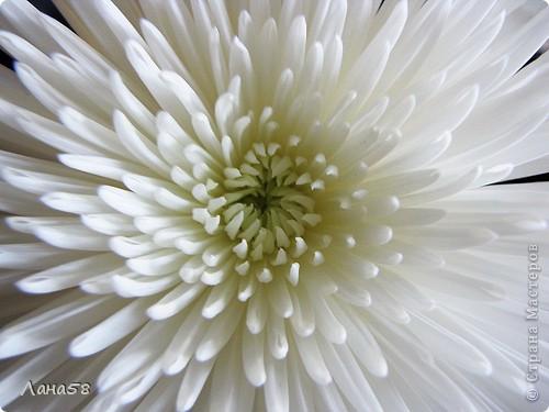 Мастер-класс Флористика Лепка Мини МК по лепке лепестков хризантемы Фарфор холодный фото 17