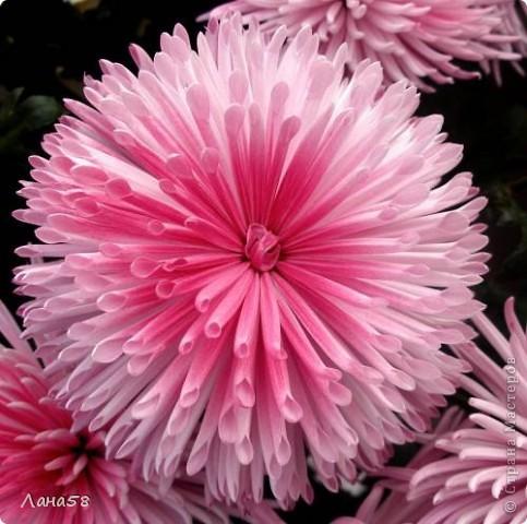 Мастер-класс Флористика Лепка Мини МК по лепке лепестков хризантемы Фарфор холодный фото 16