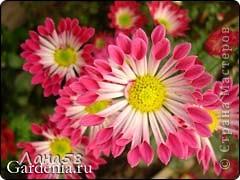 Мастер-класс Флористика Лепка Мини МК по лепке лепестков хризантемы Фарфор холодный фото 15