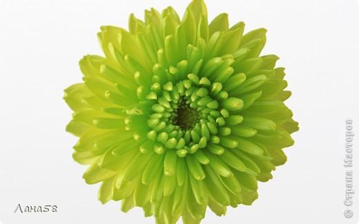 Мастер-класс Флористика Лепка Мини МК по лепке лепестков хризантемы Фарфор холодный фото 18