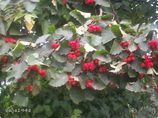 Здравствуйте дорогие жители Страны  Мастеров! Я  сегодня хочу показать маленькую зарисовку об осени!Мы все с нетерпением ждём прихода весны, радуемся зелёным листочкам, а потом лето с её теплом и богатством цветов изобилием ягод в садах! А когда наступает период прихода осени мы начинаем ворчать и говорить, что опять дожди, слякоть, грязь, становится холоднее и темнее, забывая о том, что у осени свои привилегии! Она приносит грибы и ягоды в лесах.  А какими красивыми и необыкновенными красками  расписывает небо по утрам, смешивает краски и деревья становятся необыкновенно красивыми, яркими, как на празднике! Вот и мы посмотрим как пришла осень к нам северо-запад! фото 12