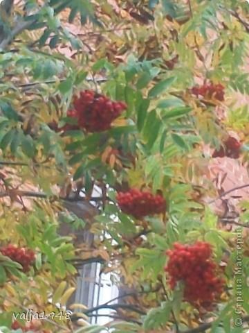 Здравствуйте дорогие жители Страны  Мастеров! Я  сегодня хочу показать маленькую зарисовку об осени!Мы все с нетерпением ждём прихода весны, радуемся зелёным листочкам, а потом лето с её теплом и богатством цветов изобилием ягод в садах! А когда наступает период прихода осени мы начинаем ворчать и говорить, что опять дожди, слякоть, грязь, становится холоднее и темнее, забывая о том, что у осени свои привилегии! Она приносит грибы и ягоды в лесах.  А какими красивыми и необыкновенными красками  расписывает небо по утрам, смешивает краски и деревья становятся необыкновенно красивыми, яркими, как на празднике! Вот и мы посмотрим как пришла осень к нам северо-запад! фото 14