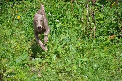 Знакомьтесь:Дэля.  Дэля - веймарская легавая, веймаранер. фото 5