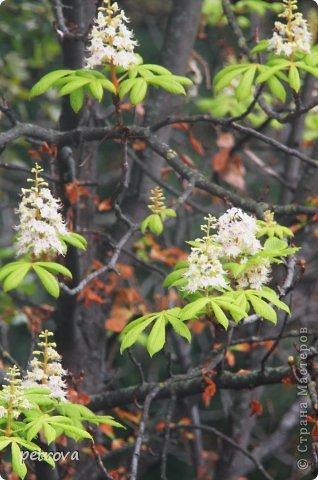 Город Киев, 3 октября, + 25 градусов, солнечно, ну ооочень тепло!!!  Как же можно сидеть дома! Да еще и чудеса вокруг... Например, уже неделю цветет... да-да, каштан!  Осень с весною встретилась?!!! фото 1