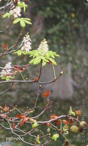 Город Киев, 3 октября, + 25 градусов, солнечно, ну ооочень тепло!!!  Как же можно сидеть дома! Да еще и чудеса вокруг... Например, уже неделю цветет... да-да, каштан!  Осень с весною встретилась?!!! фото 4
