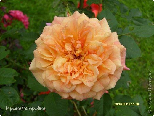 Роза Aloha фото 1