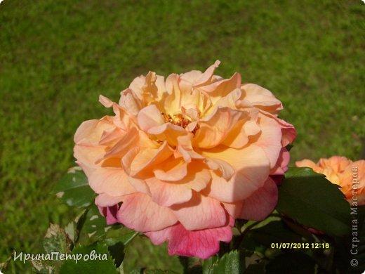Роза Aloha фото 2