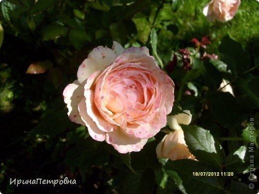 Роза Aloha фото 13