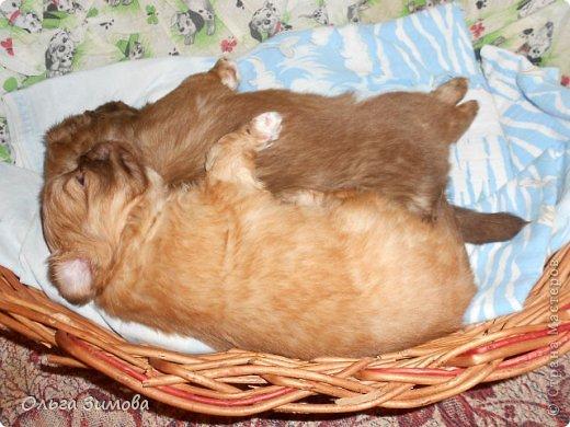Вот хочу вас познакомить со своей любимой собачкой Масей.Завели её мои дети,. но в итоге она оказалась у меня.Решили что у меня ей будет лучше.Она может гулять во дворе.Играть с котами и с моими собаками Шериком и Тяфой. Мася очень привередливая в еде. Любит  варёную курочку. молочко.конфетки. фото 4