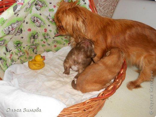 Вот хочу вас познакомить со своей любимой собачкой Масей.Завели её мои дети,. но в итоге она оказалась у меня.Решили что у меня ей будет лучше.Она может гулять во дворе.Играть с котами и с моими собаками Шериком и Тяфой. Мася очень привередливая в еде. Любит  варёную курочку. молочко.конфетки. фото 8