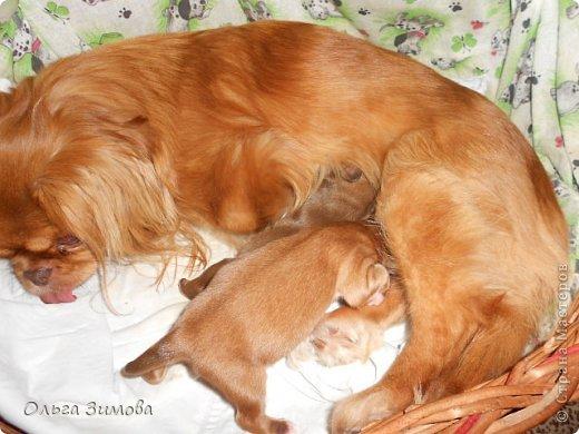 Вот хочу вас познакомить со своей любимой собачкой Масей.Завели её мои дети,. но в итоге она оказалась у меня.Решили что у меня ей будет лучше.Она может гулять во дворе.Играть с котами и с моими собаками Шериком и Тяфой. Мася очень привередливая в еде. Любит  варёную курочку. молочко.конфетки. фото 9