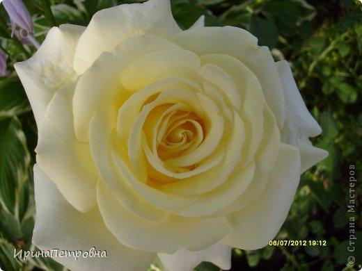 Роза Aloha фото 5
