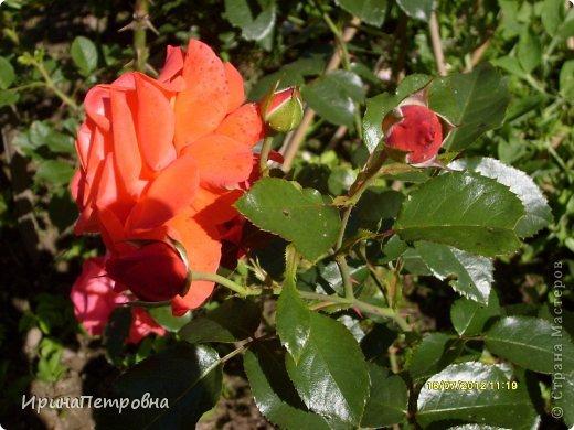 Роза Aloha фото 8