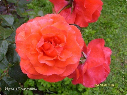 Роза Aloha фото 6