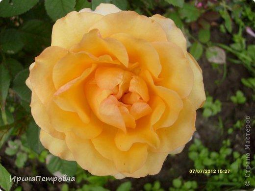 Роза Aloha фото 3