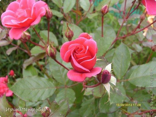 Роза Aloha фото 16