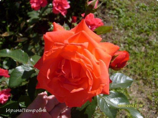 Роза Aloha фото 7