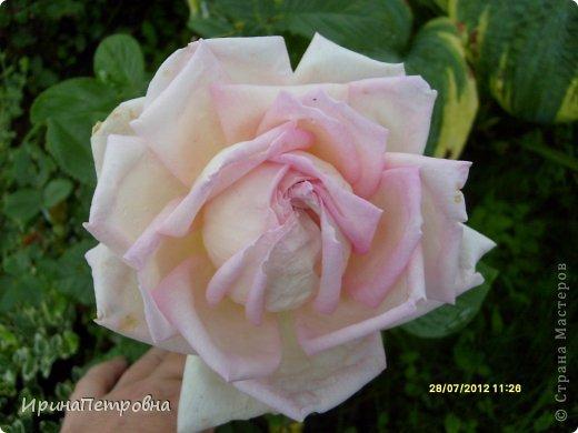 Роза Aloha фото 9