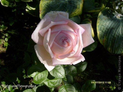 Роза Aloha фото 10