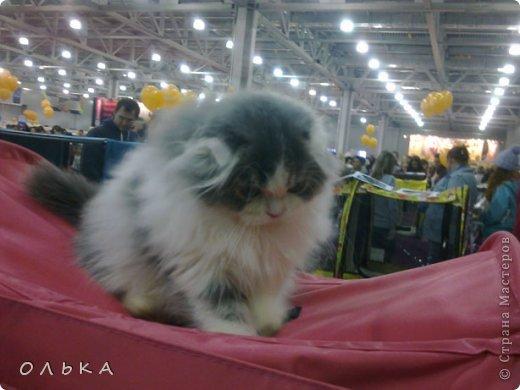Привет всем! хочу поделится с вами хорошим настроением - я сегодня целый день провела на выставке кошек!!! Нахваталась позитива!!!!!!!  Столько эмоций, столько радости))) Это одна из самых крупных выставок, которые я посещала. Было около 1500  кошек! Такие разные, такие хорошие! Наслаждайтесь и вы))))   Первый - невский маскарадный! Важный такой) фото 6