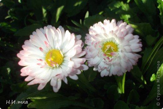 Люблю цветы! Ни одно торжество, ни один праздник не могут быть по-настоящему прекрасными, радостными без цветов. Во все времена, начиная с глубокой древности, в радости и даже в печали люди обращались к цветам. Без них жизнь потеряла бы многие свои краски и была бы куда беднее.   Цветы — наши постоянные и добрые друзья. Они украшают жизнь, приносят радость. Самые ранние нарциссы. фото 31