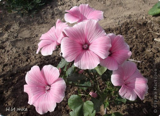 Люблю цветы! Ни одно торжество, ни один праздник не могут быть по-настоящему прекрасными, радостными без цветов. Во все времена, начиная с глубокой древности, в радости и даже в печали люди обращались к цветам. Без них жизнь потеряла бы многие свои краски и была бы куда беднее.   Цветы — наши постоянные и добрые друзья. Они украшают жизнь, приносят радость. Самые ранние нарциссы. фото 22