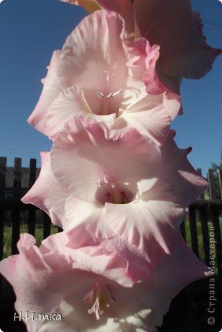 Люблю цветы! Ни одно торжество, ни один праздник не могут быть по-настоящему прекрасными, радостными без цветов. Во все времена, начиная с глубокой древности, в радости и даже в печали люди обращались к цветам. Без них жизнь потеряла бы многие свои краски и была бы куда беднее.   Цветы — наши постоянные и добрые друзья. Они украшают жизнь, приносят радость. Самые ранние нарциссы. фото 48