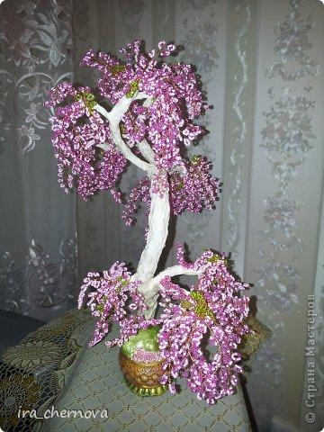 Денежное дерево. фото 12