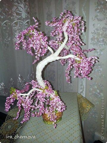 Денежное дерево. фото 13