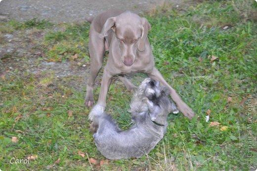 Знакомьтесь:Дэля.  Дэля - веймарская легавая, веймаранер. фото 24