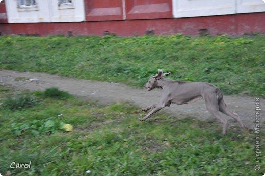 Знакомьтесь:Дэля.  Дэля - веймарская легавая, веймаранер. фото 26