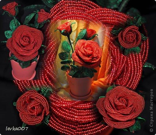 Роза в горшке фото 1
