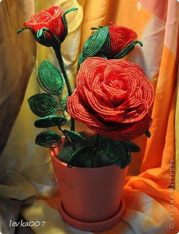Роза в горшке фото 2