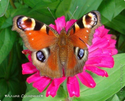 Бабочки - это цветы, которые сорвал ветер (с) Удивлены? Да, это бабочки - воздушные красавицы.  Эту запись можно было сделать летом, но ведь летом нам итак хватает тепла и солнышка.  А сейчас увы... Вот я побродила по своим альбомам и нашла теплый кусочек лета. Прикоснемся к нему вместе*)  Я большая  любительница бабочек))) Снимаю профессиональным фотоаппаратом. Эти крылатые создания сами летят ко мне) На даче посадила очень сладкий цветок, и вот результат)) Целый день вокруг него вьются воздушные красавицы.  фото 10