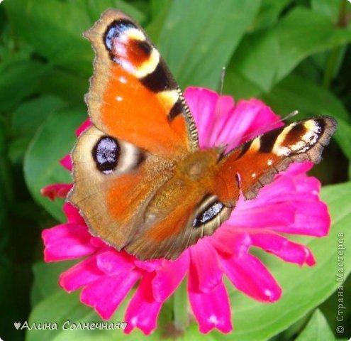 Бабочки - это цветы, которые сорвал ветер (с) Удивлены? Да, это бабочки - воздушные красавицы.  Эту запись можно было сделать летом, но ведь летом нам итак хватает тепла и солнышка.  А сейчас увы... Вот я побродила по своим альбомам и нашла теплый кусочек лета. Прикоснемся к нему вместе*)  Я большая  любительница бабочек))) Снимаю профессиональным фотоаппаратом. Эти крылатые создания сами летят ко мне) На даче посадила очень сладкий цветок, и вот результат)) Целый день вокруг него вьются воздушные красавицы.  фото 11