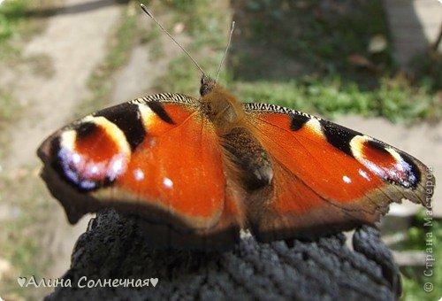 Бабочки - это цветы, которые сорвал ветер (с) Удивлены? Да, это бабочки - воздушные красавицы.  Эту запись можно было сделать летом, но ведь летом нам итак хватает тепла и солнышка.  А сейчас увы... Вот я побродила по своим альбомам и нашла теплый кусочек лета. Прикоснемся к нему вместе*)  Я большая  любительница бабочек))) Снимаю профессиональным фотоаппаратом. Эти крылатые создания сами летят ко мне) На даче посадила очень сладкий цветок, и вот результат)) Целый день вокруг него вьются воздушные красавицы.  фото 12