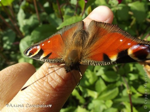 Бабочки - это цветы, которые сорвал ветер (с) Удивлены? Да, это бабочки - воздушные красавицы.  Эту запись можно было сделать летом, но ведь летом нам итак хватает тепла и солнышка.  А сейчас увы... Вот я побродила по своим альбомам и нашла теплый кусочек лета. Прикоснемся к нему вместе*)  Я большая  любительница бабочек))) Снимаю профессиональным фотоаппаратом. Эти крылатые создания сами летят ко мне) На даче посадила очень сладкий цветок, и вот результат)) Целый день вокруг него вьются воздушные красавицы.  фото 13