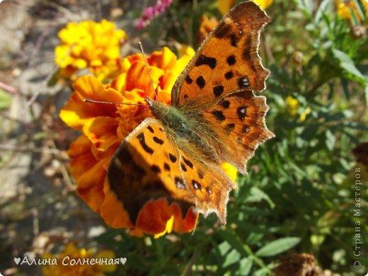 Бабочки - это цветы, которые сорвал ветер (с) Удивлены? Да, это бабочки - воздушные красавицы.  Эту запись можно было сделать летом, но ведь летом нам итак хватает тепла и солнышка.  А сейчас увы... Вот я побродила по своим альбомам и нашла теплый кусочек лета. Прикоснемся к нему вместе*)  Я большая  любительница бабочек))) Снимаю профессиональным фотоаппаратом. Эти крылатые создания сами летят ко мне) На даче посадила очень сладкий цветок, и вот результат)) Целый день вокруг него вьются воздушные красавицы.  фото 14