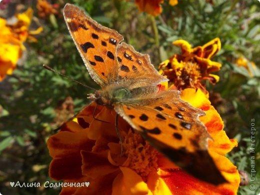 Бабочки - это цветы, которые сорвал ветер (с) Удивлены? Да, это бабочки - воздушные красавицы.  Эту запись можно было сделать летом, но ведь летом нам итак хватает тепла и солнышка.  А сейчас увы... Вот я побродила по своим альбомам и нашла теплый кусочек лета. Прикоснемся к нему вместе*)  Я большая  любительница бабочек))) Снимаю профессиональным фотоаппаратом. Эти крылатые создания сами летят ко мне) На даче посадила очень сладкий цветок, и вот результат)) Целый день вокруг него вьются воздушные красавицы.  фото 15