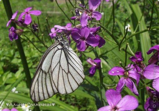 Бабочки - это цветы, которые сорвал ветер (с) Удивлены? Да, это бабочки - воздушные красавицы.  Эту запись можно было сделать летом, но ведь летом нам итак хватает тепла и солнышка.  А сейчас увы... Вот я побродила по своим альбомам и нашла теплый кусочек лета. Прикоснемся к нему вместе*)  Я большая  любительница бабочек))) Снимаю профессиональным фотоаппаратом. Эти крылатые создания сами летят ко мне) На даче посадила очень сладкий цветок, и вот результат)) Целый день вокруг него вьются воздушные красавицы.  фото 3