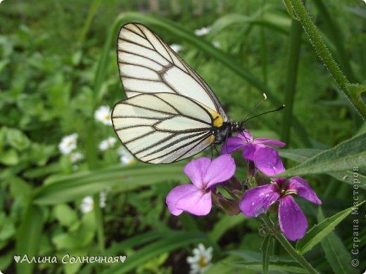 Бабочки - это цветы, которые сорвал ветер (с) Удивлены? Да, это бабочки - воздушные красавицы.  Эту запись можно было сделать летом, но ведь летом нам итак хватает тепла и солнышка.  А сейчас увы... Вот я побродила по своим альбомам и нашла теплый кусочек лета. Прикоснемся к нему вместе*)  Я большая  любительница бабочек))) Снимаю профессиональным фотоаппаратом. Эти крылатые создания сами летят ко мне) На даче посадила очень сладкий цветок, и вот результат)) Целый день вокруг него вьются воздушные красавицы.  фото 2