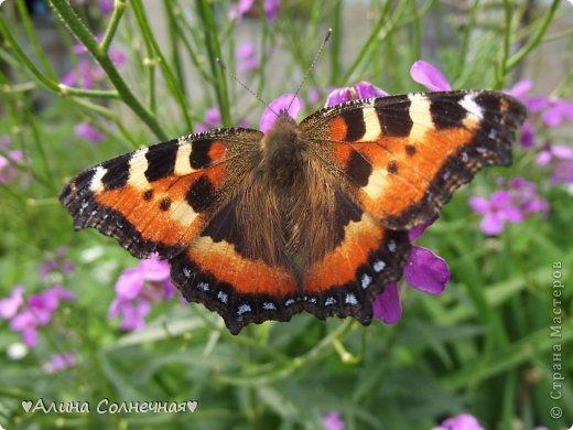 Бабочки - это цветы, которые сорвал ветер (с) Удивлены? Да, это бабочки - воздушные красавицы.  Эту запись можно было сделать летом, но ведь летом нам итак хватает тепла и солнышка.  А сейчас увы... Вот я побродила по своим альбомам и нашла теплый кусочек лета. Прикоснемся к нему вместе*)  Я большая  любительница бабочек))) Снимаю профессиональным фотоаппаратом. Эти крылатые создания сами летят ко мне) На даче посадила очень сладкий цветок, и вот результат)) Целый день вокруг него вьются воздушные красавицы.  фото 4