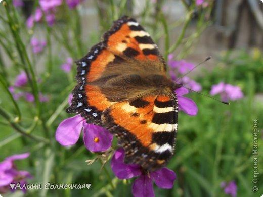 Бабочки - это цветы, которые сорвал ветер (с) Удивлены? Да, это бабочки - воздушные красавицы.  Эту запись можно было сделать летом, но ведь летом нам итак хватает тепла и солнышка.  А сейчас увы... Вот я побродила по своим альбомам и нашла теплый кусочек лета. Прикоснемся к нему вместе*)  Я большая  любительница бабочек))) Снимаю профессиональным фотоаппаратом. Эти крылатые создания сами летят ко мне) На даче посадила очень сладкий цветок, и вот результат)) Целый день вокруг него вьются воздушные красавицы.  фото 5